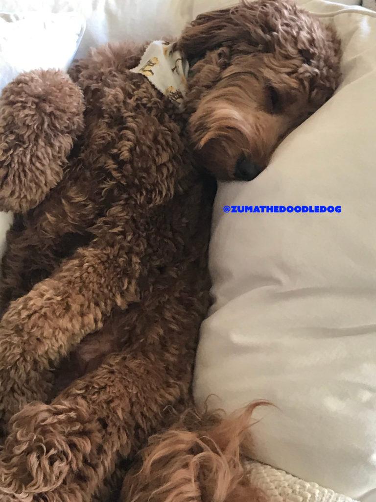 Goldendoodle Sleep Positions