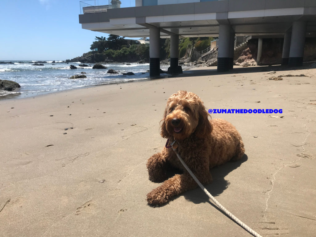 Goldendoodle one paw tuck