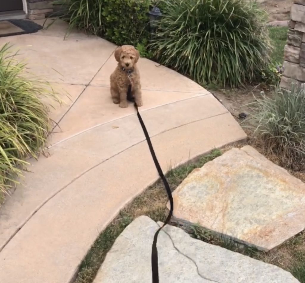 Goldendoodle Puppy Leash Training