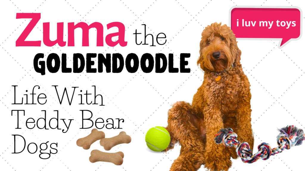 Goldendoodle Loves Her Toys